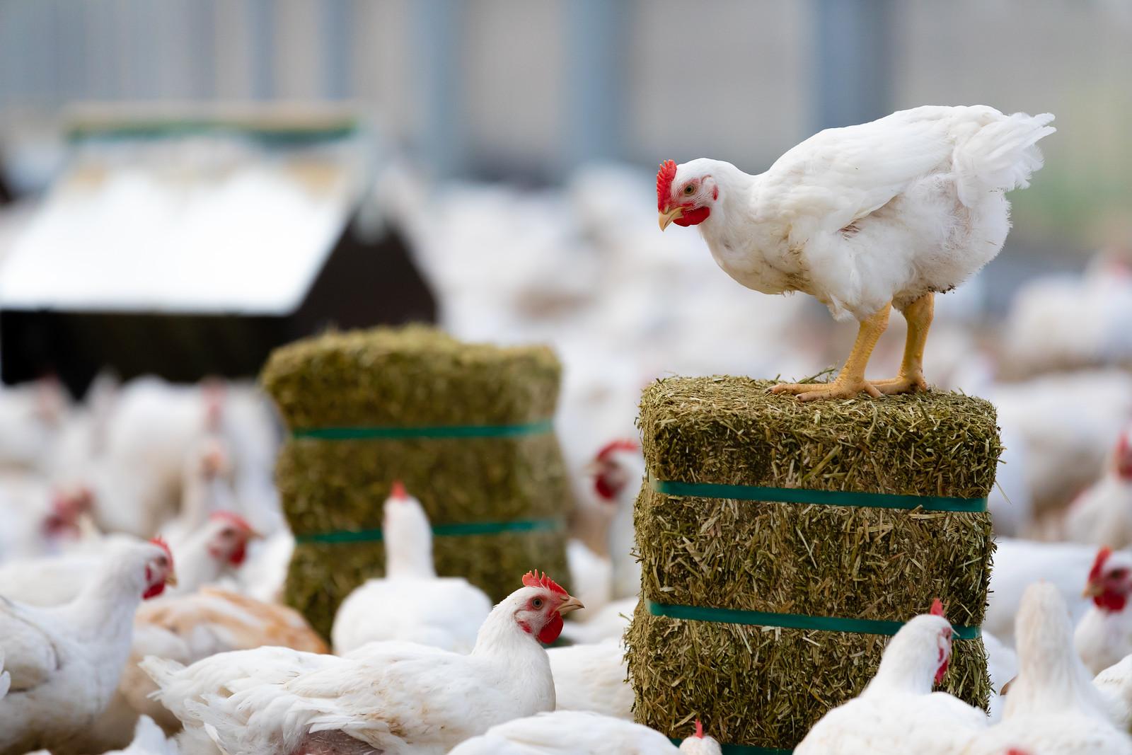 Hoe blijven de kippen koel?